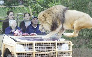 澳动物园刺激ope体育安卓版项目:游人隐形笼内观猛兽觅食